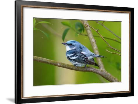 Portrait of a Male Cerulean Warbler, Dendroica Cerulea, on a Tree Branch-George Grall-Framed Art Print