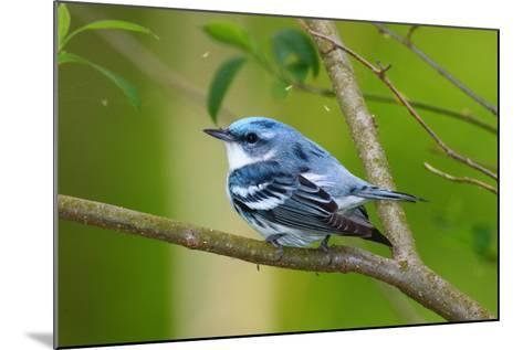 Portrait of a Male Cerulean Warbler, Dendroica Cerulea, on a Tree Branch-George Grall-Mounted Photographic Print