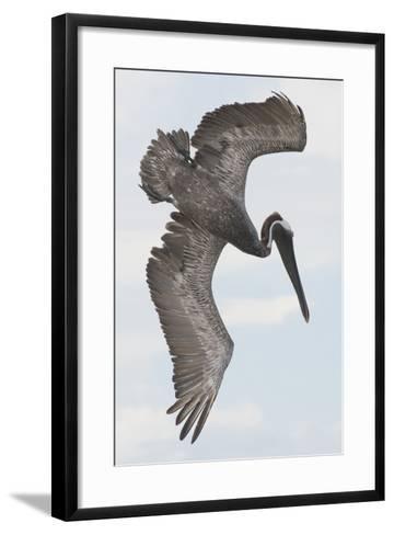 A Brown Pelican Dives for Food-Jeff Mauritzen-Framed Art Print
