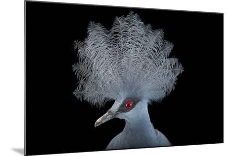 A Blue Crowned Pigeon, Goura Cristata, at Omaha's Henry Doorly Zoo and Aquarium-Joel Sartore-Mounted Photographic Print