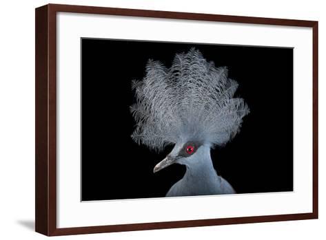 A Blue Crowned Pigeon, Goura Cristata, at Omaha's Henry Doorly Zoo and Aquarium-Joel Sartore-Framed Art Print