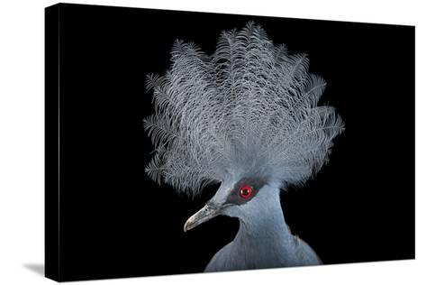 A Blue Crowned Pigeon, Goura Cristata, at Omaha's Henry Doorly Zoo and Aquarium-Joel Sartore-Stretched Canvas Print