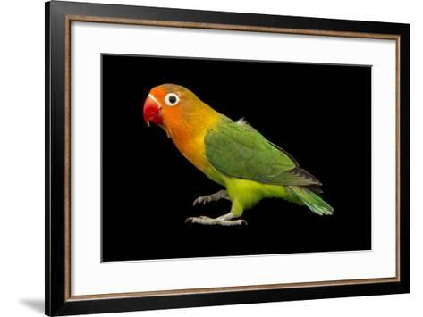 Lilian's or Nyasa Lovebird, Agapornis Lilianae, from a Private Collection-Joel Sartore-Framed Art Print