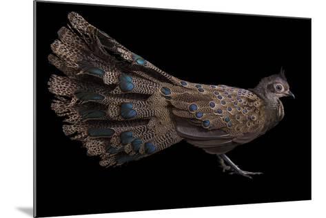A Male Malay Peacock Pheasant, Polyplectron Malacense, at Pheasant Heaven-Joel Sartore-Mounted Photographic Print
