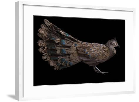 A Male Malay Peacock Pheasant, Polyplectron Malacense, at Pheasant Heaven-Joel Sartore-Framed Art Print