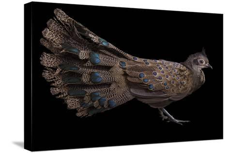 A Male Malay Peacock Pheasant, Polyplectron Malacense, at Pheasant Heaven-Joel Sartore-Stretched Canvas Print
