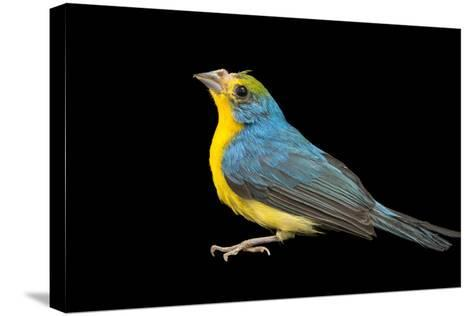 Rainbow Bunting, Passerina Leclancheri, from a Private Collection-Joel Sartore-Stretched Canvas Print