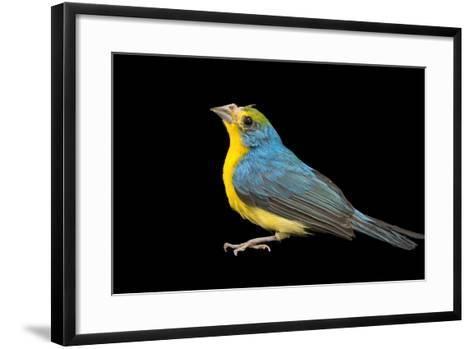 Rainbow Bunting, Passerina Leclancheri, from a Private Collection-Joel Sartore-Framed Art Print