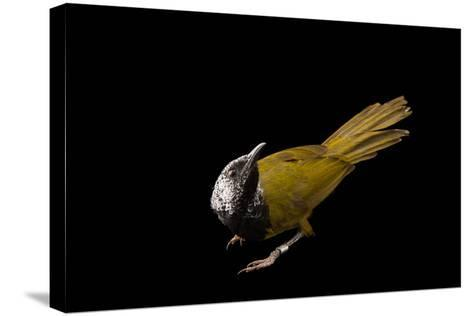 An Oriole Warbler, Hypergerus Atriceps, at the Oklahoma City Zoo-Joel Sartore-Stretched Canvas Print
