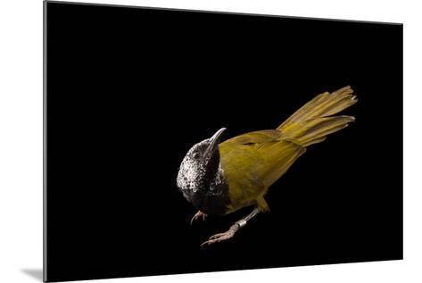 An Oriole Warbler, Hypergerus Atriceps, at the Oklahoma City Zoo-Joel Sartore-Mounted Photographic Print