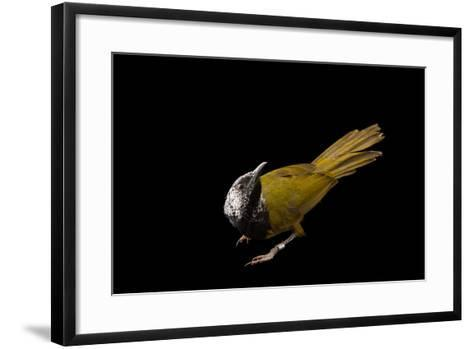 An Oriole Warbler, Hypergerus Atriceps, at the Oklahoma City Zoo-Joel Sartore-Framed Art Print