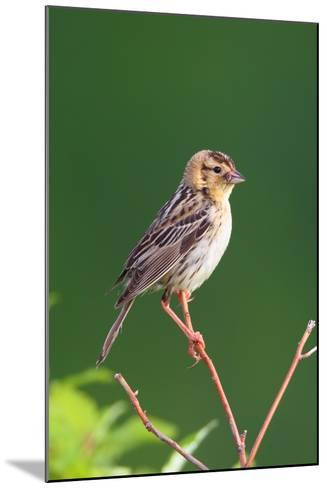 Portrait of a Female Bobolink, Dolichonyx Oryzivorus, with a Spider in Her Beak-George Grall-Mounted Photographic Print