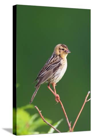 Portrait of a Female Bobolink, Dolichonyx Oryzivorus, with a Spider in Her Beak-George Grall-Stretched Canvas Print