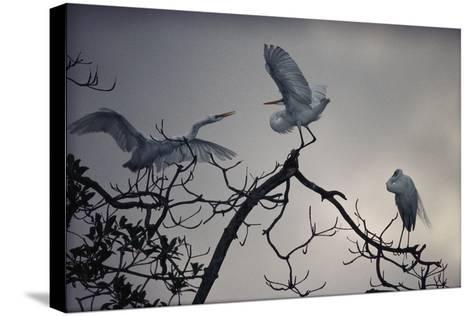 Great White Egrets (Casmerodius Albus) Perched on Tree Branches-Michael Nichols-Stretched Canvas Print
