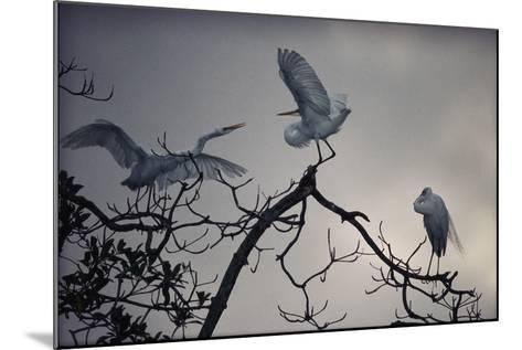 Great White Egrets (Casmerodius Albus) Perched on Tree Branches-Michael Nichols-Mounted Photographic Print