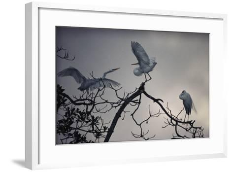 Great White Egrets (Casmerodius Albus) Perched on Tree Branches-Michael Nichols-Framed Art Print