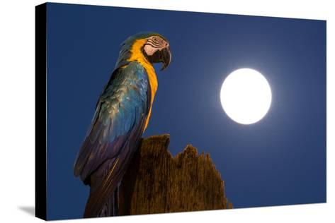 A Blue-And-Yellow Macaw, Ara Ararauna, on a Palm Tree Trunk with a Full Moon-Edson Vandeira-Stretched Canvas Print
