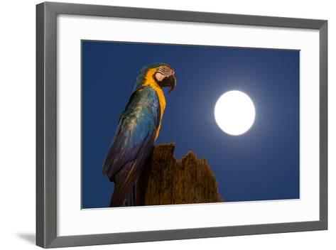 A Blue-And-Yellow Macaw, Ara Ararauna, on a Palm Tree Trunk with a Full Moon-Edson Vandeira-Framed Art Print