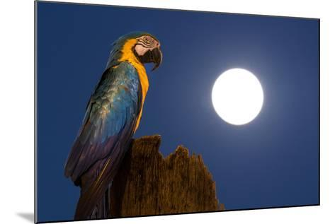 A Blue-And-Yellow Macaw, Ara Ararauna, on a Palm Tree Trunk with a Full Moon-Edson Vandeira-Mounted Photographic Print