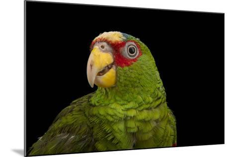 White Fronted Amazon, Amazona Albifrons Nana, from a Private Collection-Joel Sartore-Mounted Photographic Print