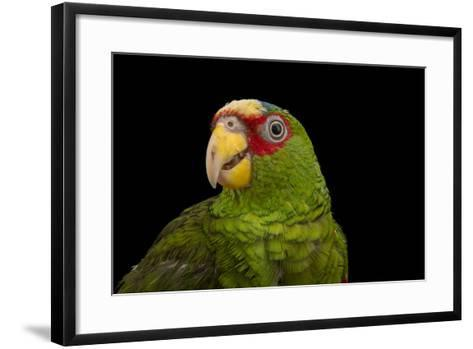 White Fronted Amazon, Amazona Albifrons Nana, from a Private Collection-Joel Sartore-Framed Art Print