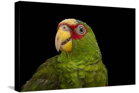 White Fronted Amazon, Amazona Albifrons Nana, from a Private Collection-Joel Sartore-Stretched Canvas Print