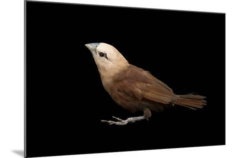 White Headed Munia, Lonchura Maja, from a Private Collection-Joel Sartore-Mounted Photographic Print
