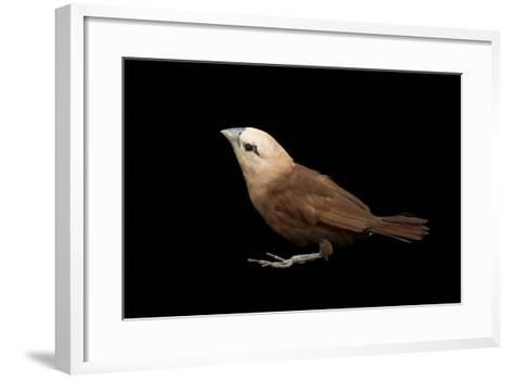 White Headed Munia, Lonchura Maja, from a Private Collection-Joel Sartore-Framed Art Print