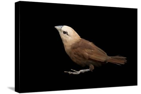 White Headed Munia, Lonchura Maja, from a Private Collection-Joel Sartore-Stretched Canvas Print