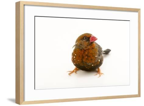 Red Avadavat, Red Munia or Strawberry Finch, Amandava Amandava, from a Private Collection-Joel Sartore-Framed Art Print