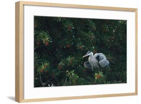 A Great Blue Heron on Florida's Gulf Coast-Klaus Nigge-Framed Art Print