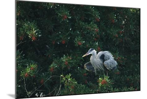 A Great Blue Heron on Florida's Gulf Coast-Klaus Nigge-Mounted Photographic Print