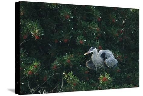 A Great Blue Heron on Florida's Gulf Coast-Klaus Nigge-Stretched Canvas Print