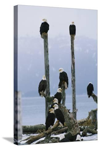 A Group of Eagles Perch on Wooden Posts-Klaus Nigge-Stretched Canvas Print