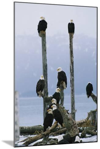 A Group of Eagles Perch on Wooden Posts-Klaus Nigge-Mounted Photographic Print