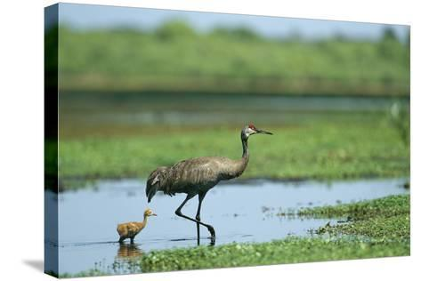 A Sandhill Crane Parent Wades with its Young in the Water-Klaus Nigge-Stretched Canvas Print