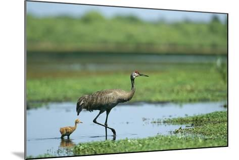 A Sandhill Crane Parent Wades with its Young in the Water-Klaus Nigge-Mounted Photographic Print