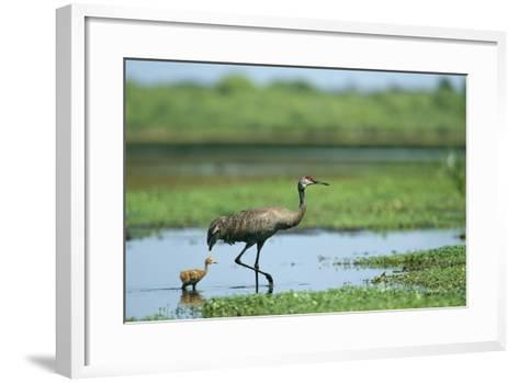 A Sandhill Crane Parent Wades with its Young in the Water-Klaus Nigge-Framed Art Print