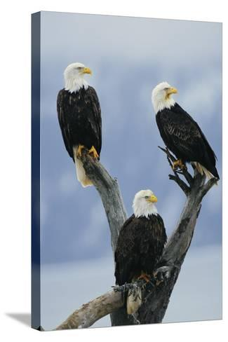 A Trio of American Bald Eagles Perched in an Old Tree Snag-Klaus Nigge-Stretched Canvas Print