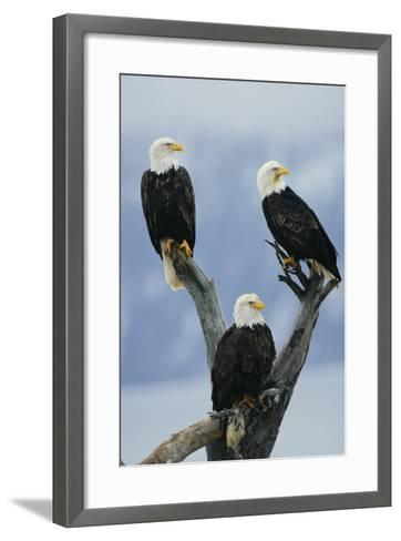 A Trio of American Bald Eagles Perched in an Old Tree Snag-Klaus Nigge-Framed Art Print