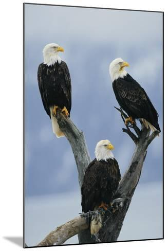 A Trio of American Bald Eagles Perched in an Old Tree Snag-Klaus Nigge-Mounted Photographic Print