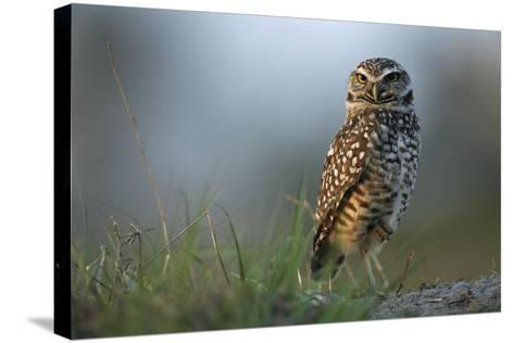 A Burrowing Owl in its Grassland Habitat-Klaus Nigge-Stretched Canvas Print