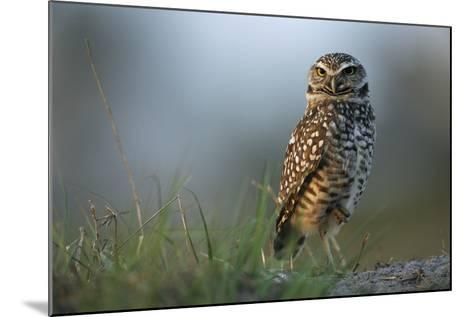 A Burrowing Owl in its Grassland Habitat-Klaus Nigge-Mounted Photographic Print