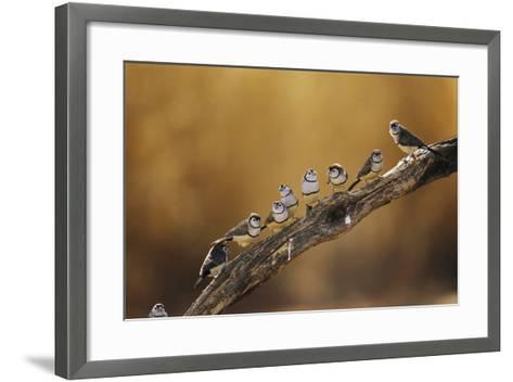 A Group of Double-Barred Finches Flocked on a Tree Branch-Jason Edwards-Framed Art Print