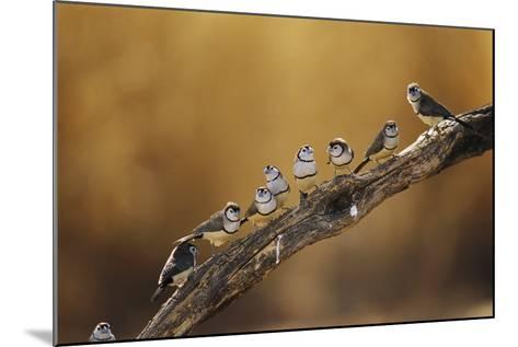 A Group of Double-Barred Finches Flocked on a Tree Branch-Jason Edwards-Mounted Photographic Print