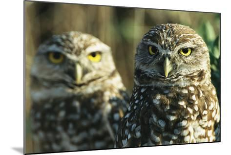 A Pair of Burrowing Owls on Florida's Gulf Coast-Klaus Nigge-Mounted Photographic Print