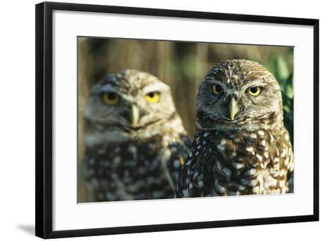 A Pair of Burrowing Owls on Florida's Gulf Coast-Klaus Nigge-Framed Art Print