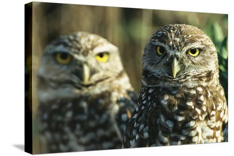 A Pair of Burrowing Owls on Florida's Gulf Coast-Klaus Nigge-Stretched Canvas Print
