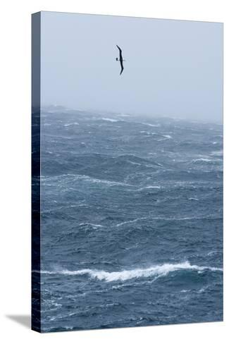 Black-Browed Albatross Flying in Gale Force Winds over a Stormy Sea-Ralph Lee Hopkins-Stretched Canvas Print