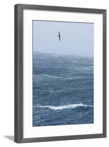 Black-Browed Albatross Flying in Gale Force Winds over a Stormy Sea-Ralph Lee Hopkins-Framed Art Print